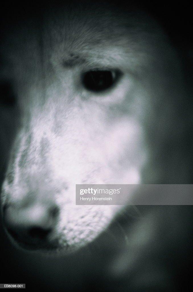 Dog, head-shot, close-up (B&W) : Stock Photo