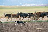 Dog herding cattle on ranch