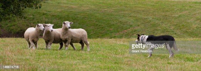 Dog herding sheep : Stock Photo