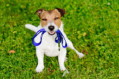 Jack Russell Terrier with leash looking at camera