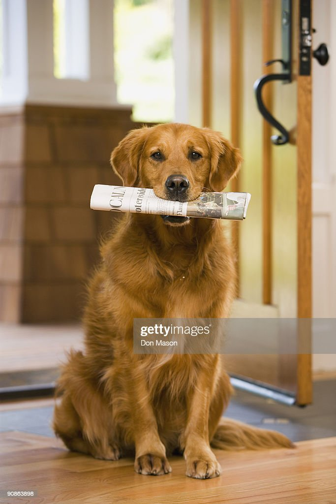 Dog holding newspaper in mouth : Stock Photo