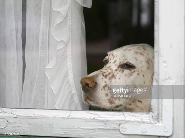 犬を単独での家の外、英語セッター