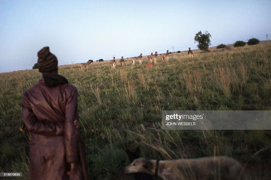 a dog hunter walks towards a herd of zebras in the early hours of the pictures getty images. Black Bedroom Furniture Sets. Home Design Ideas