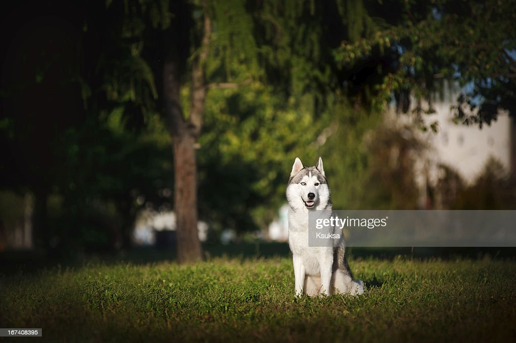 dog husky sits on the grass : Stock Photo