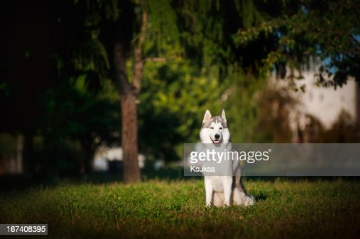 dog husky sits on the grass : Bildbanksbilder