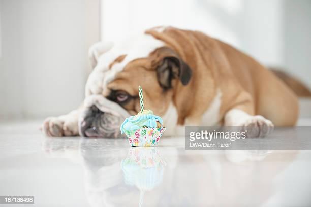 Dog ignoring birthday cupcake