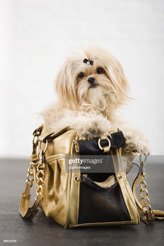 Dog in a purse