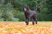 Dog in autumn leaves - king poodle or big poodle