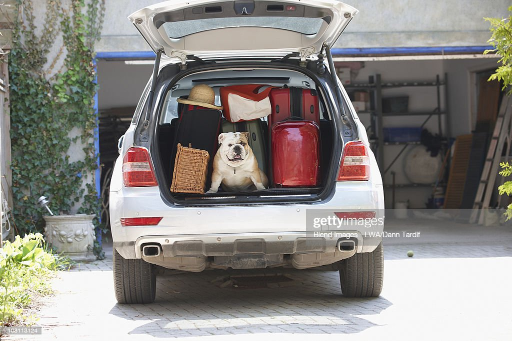 Dog in back of car packed for vacation : Stock Photo