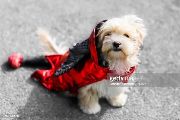Dog in devil costume