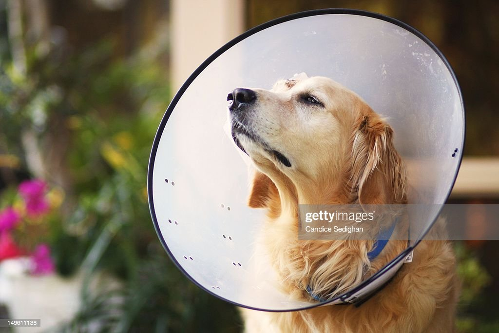 Dog in E Collar : Stock Photo