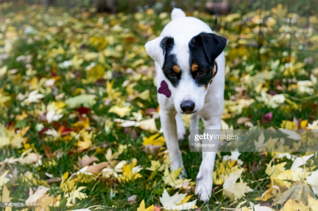 Dog in Fall Leaves Background : Foto de stock