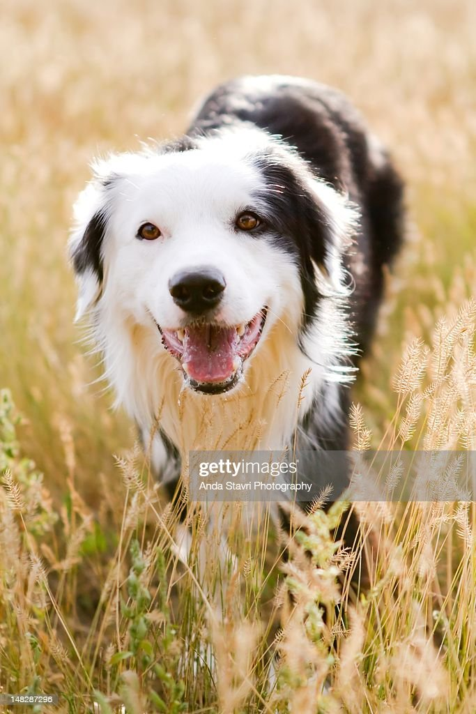 Dog in field : Stock Photo