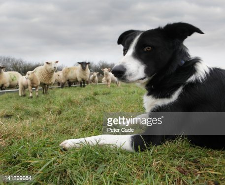Dog in field with sheep
