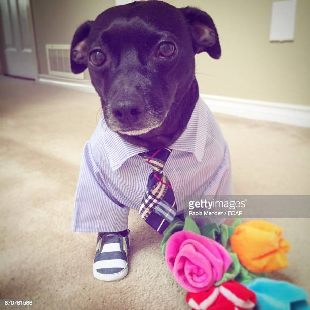 Dog in formal clothing at home