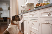 Dog in kitchen looking at food on counter