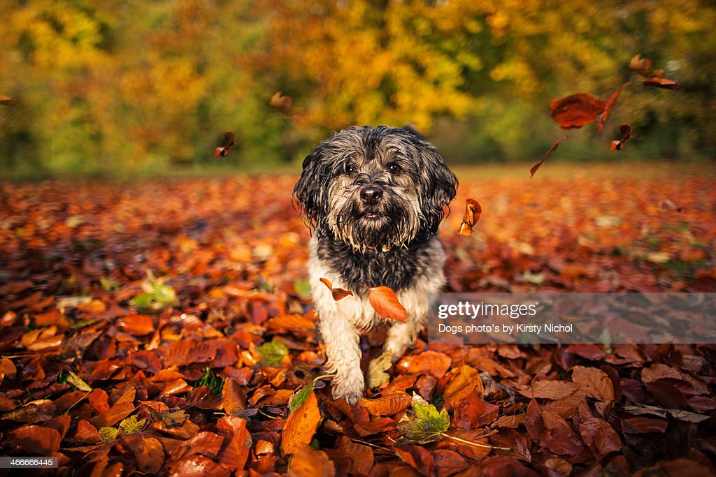 Dog in leaves. : Stock Photo