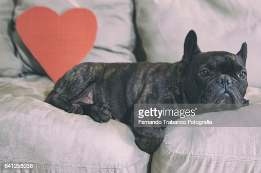 Dog in love lying on a sofa With a red heart behind