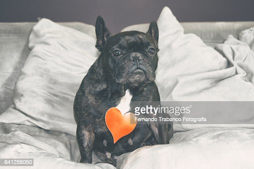 Dog in love sitting on  sofa Holding a red heart