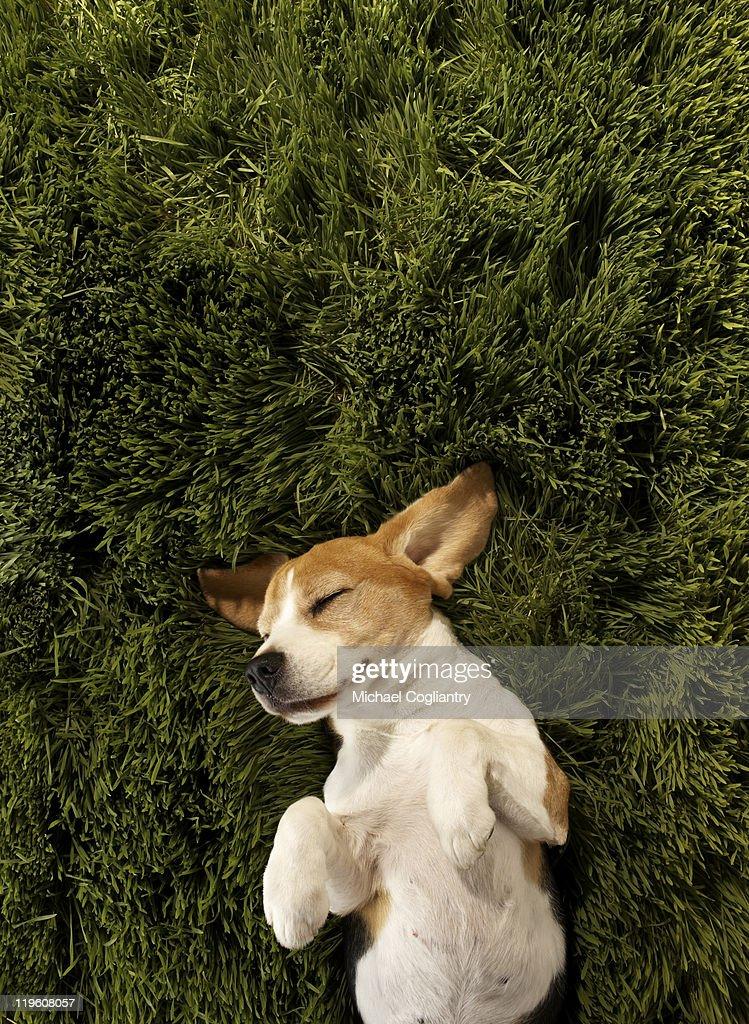 Dog in lying in grass sleeping