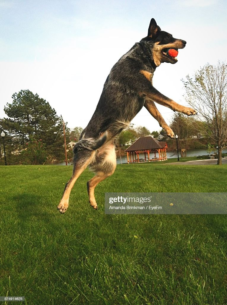 Dog In Mid-Air Catching Ball Over Grassy Field In Park
