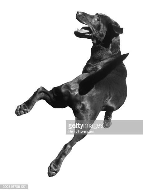 Dog in mid-air jump, rear view (B&W)
