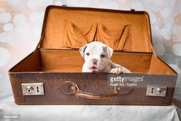 Dog In Old Suitcase At Home