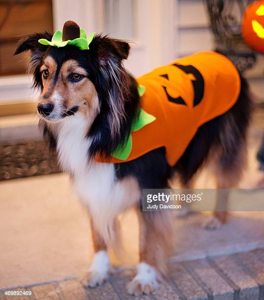 Dog in pumpkin costume