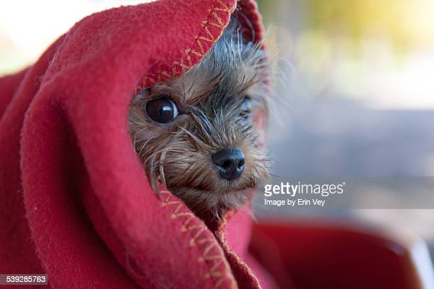 Dog in red blanket
