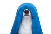 jack russell dog in a bathtub not so amused about that , with blue  towel , isolated on white background, having a spa or wellness treatment