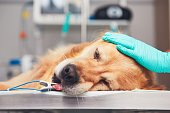 Dog in the animal hospital. Golden retriever lying on the operating room before surgery.