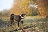 Dog in the autumn - Appenzeller Sennenhund - Appenzell Cattle Dog