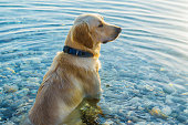 The dog sits in the water and looks into the distance