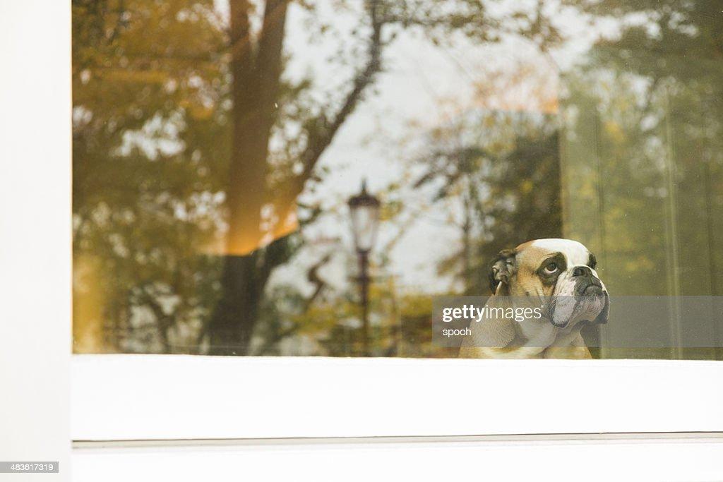 Dog in window : Stock Photo