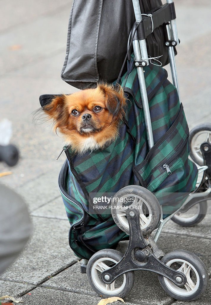 A dog inside a shopping trolley is pictured on September 7, 2013 in Frankfurt am Main, Germany.