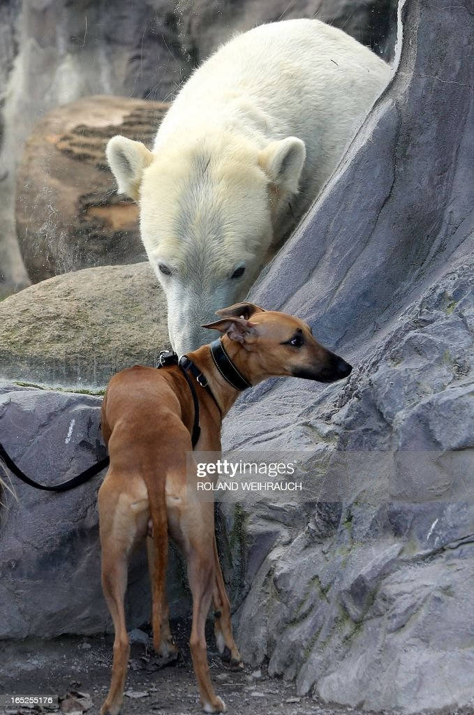 A dog is pictured in front of a polar bear in its enclosure at the zoo in Gelsenkirchen, Germany on April 2 , 2013. AFP PHOTO / ROLAND WEIHRAUCH GERMANY OUT