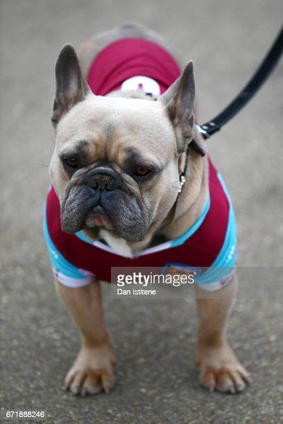A dog is pictured wearing West Ham colours prior to the Premier League match between West Ham United and Everton at London Stadium on April 22 2017...