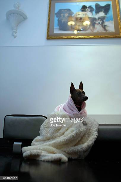 A dog is seen in her crown jewel suite as she is boarded at Chateau Poochie the luxury hotel for dogs and cats December 13 2007 in Pompano Beach...