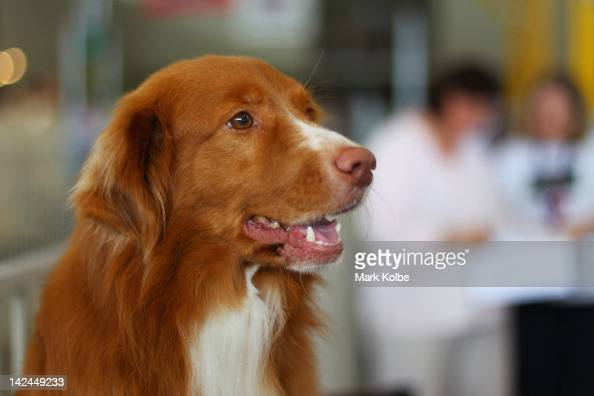 A dog is seen in the Sydney Royal Dog Show as part of the 2012 Sydney Royal Easter Show at the Sydney Showground on April 5 2012 in Sydney Australia...