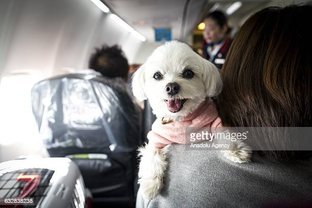 A dog is seen on the shoulder of its owner in a plane in Chiba Japan on January 27 2017 Japan Airlines 'wan wan jet tour' allows owners and their...