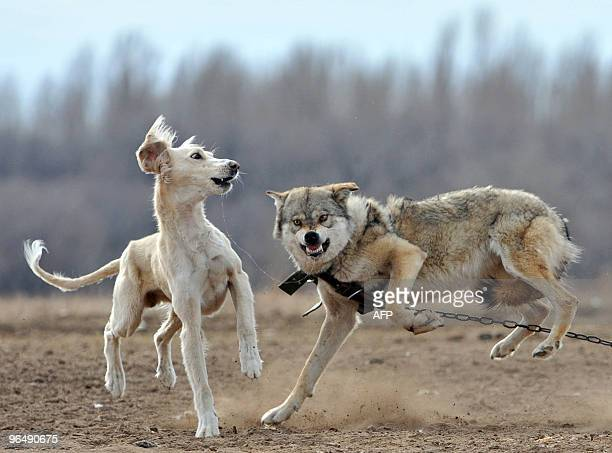 A dog is set against a chained wolf during a hunting festival 'Solburun' in the village of CholponAta some 250km outside Biskek on February 7 2010...