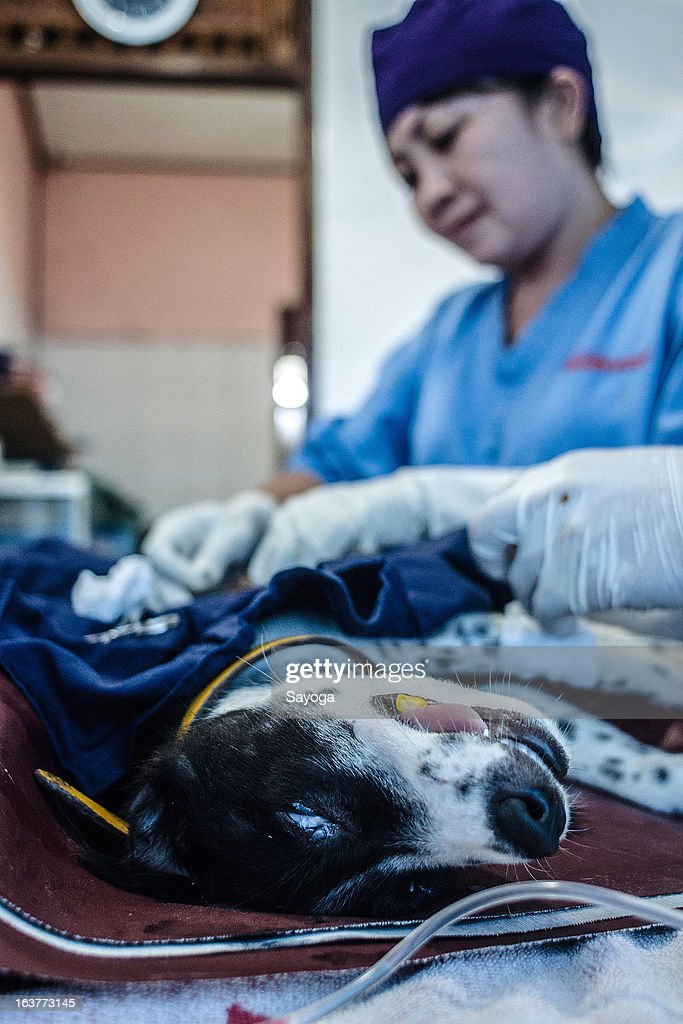 A dog is spayed at Bali Animal Welfare Association (BAWA) clinic on March 15, 2013 in Ubud, Bali, Indonesia. According to data from the Bali Animal Welfare Association (BAWA), the dog population in Bali is approximately 600,000. Many are reported to suffer from malnourishment and poor health.