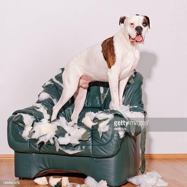 Chien debout sur la destruction des chaises