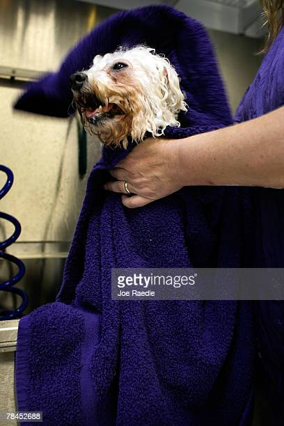 A dog is toweled dry after receiving a blueberry fruit facial at the Salon and Spa in the Chateau Poochie the luxury hotel for dogs and cats December...
