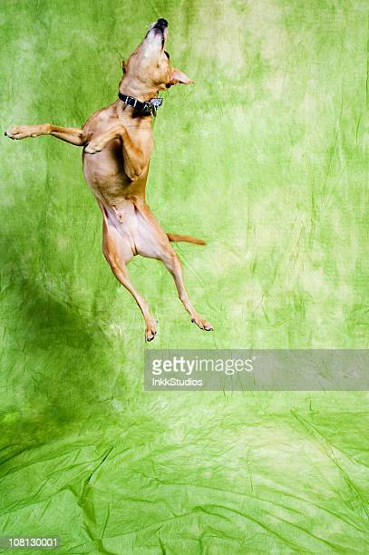 Dog Jumping in air on green background