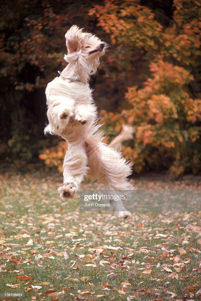 Dog jumping in air : Stock Photo