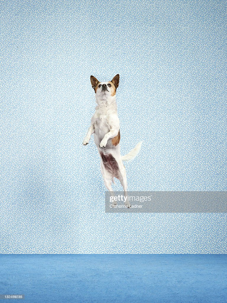 Dog (Canis lupus familiaris) jumping. : Stock Photo