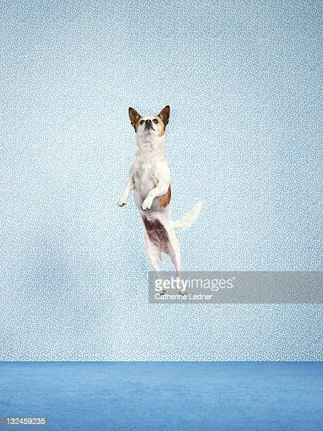 Dog (Canis lupus familiaris) jumping.