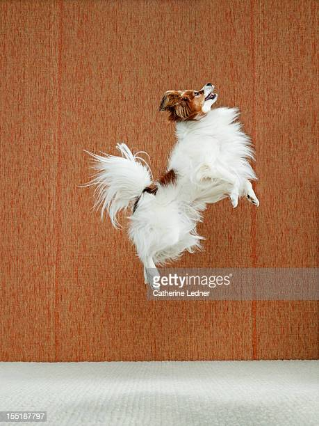 Dog (Canis lupis familiaris) jumping