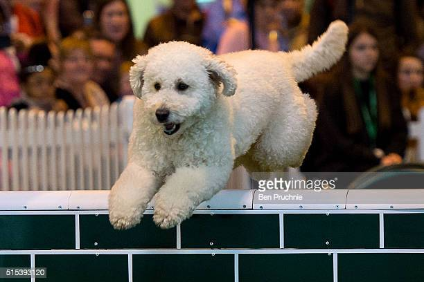 A dog jumps over a fence on the final day of Crufts 2016 on March 13 2016 in Birmingham England First held in 1891 Crufts is said to be the largest...